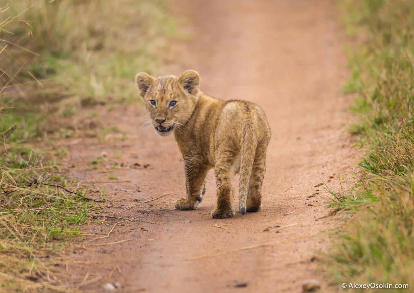 lion_cub_aug.2015_ao_-15.jpg