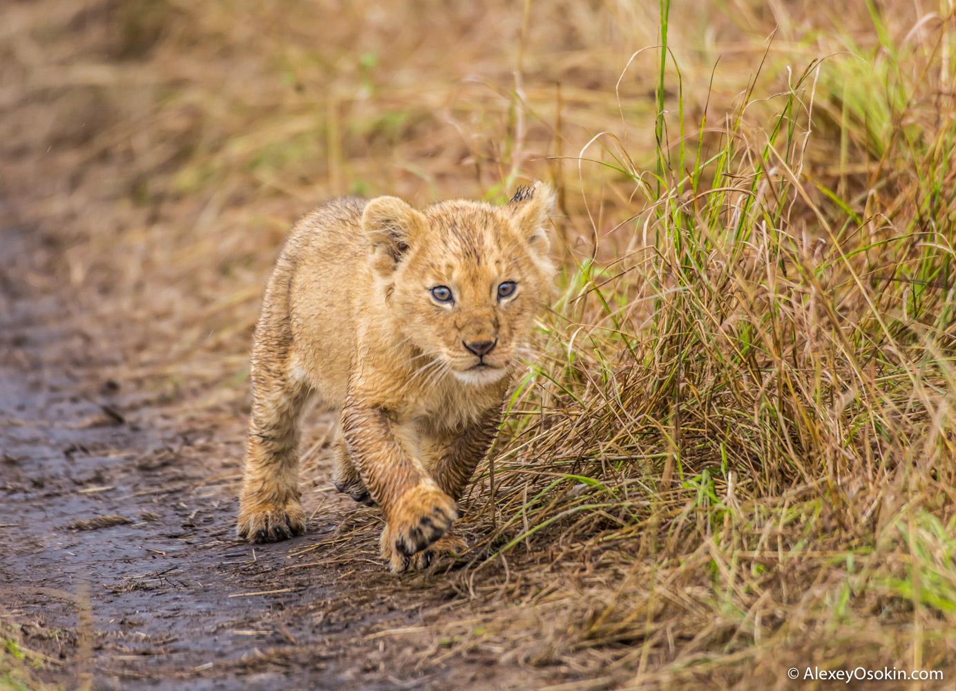 lion_cub_aug.2015_ao_-4.jpg