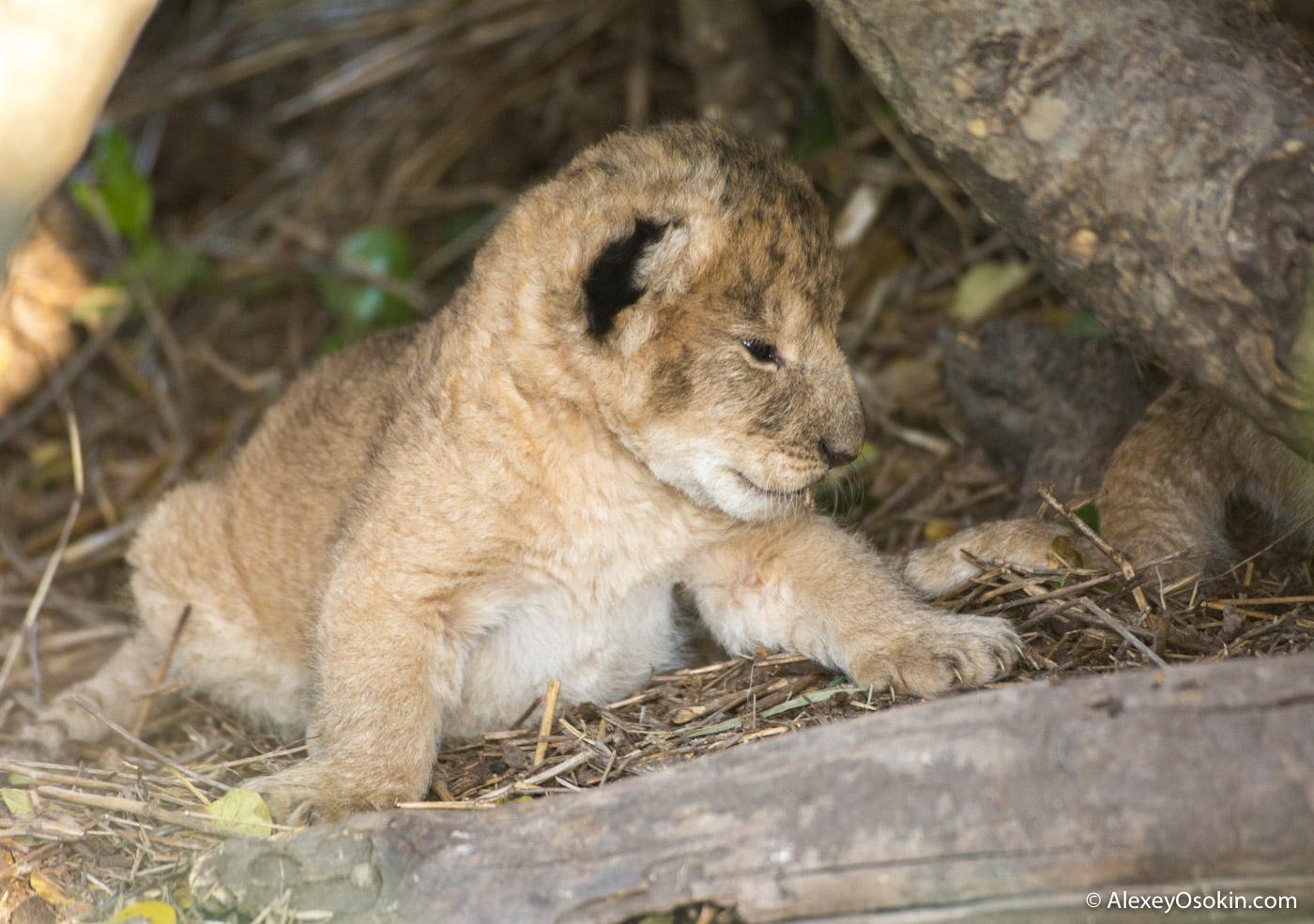 lion_cubik_lj-2.jpg