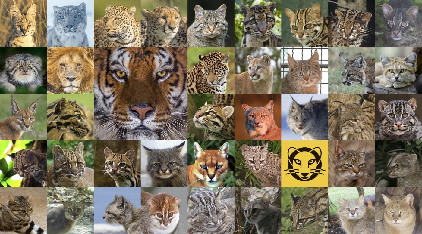 Чертова дюжина или все семейство кошачьих с фото