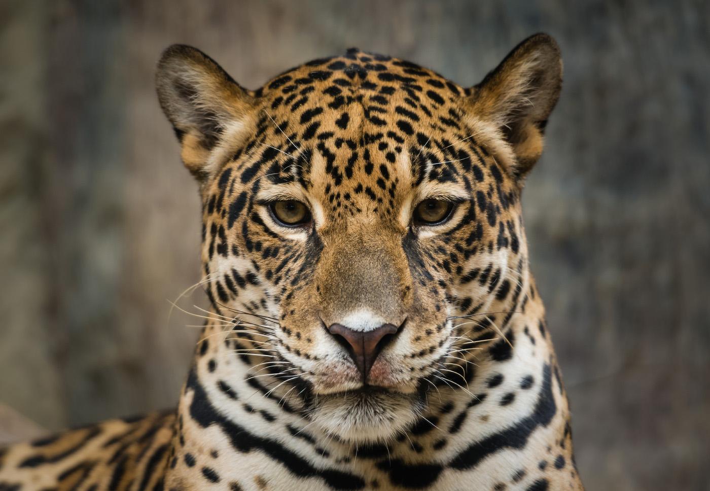 jaguar_lj_2.jpg