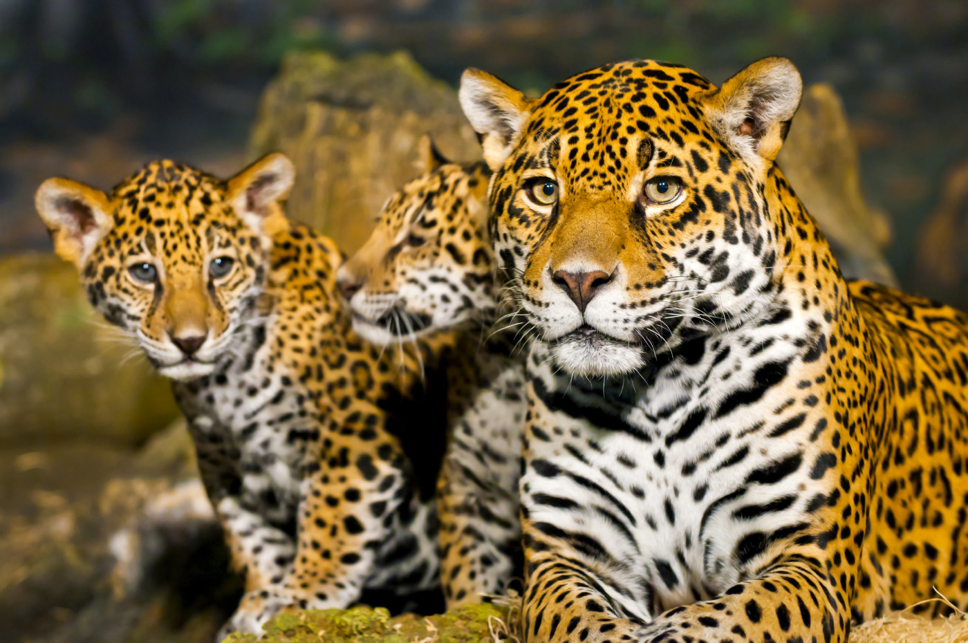 jaguar_lj_3.jpg