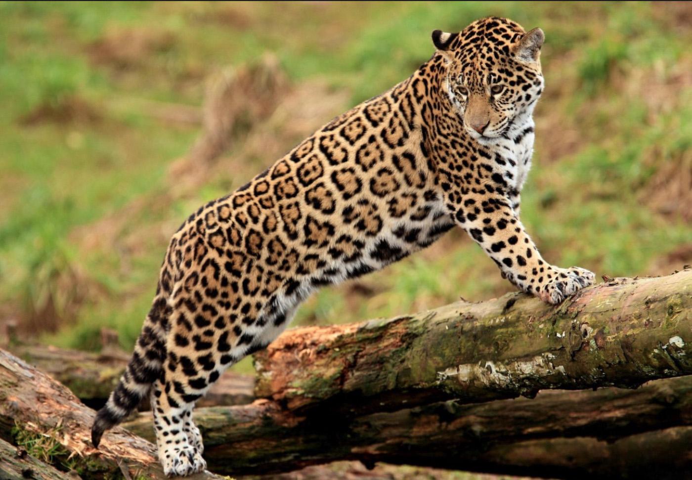 jaguar_lj_4.jpg