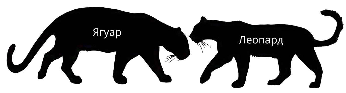 jaguar_v_leopard.jpg