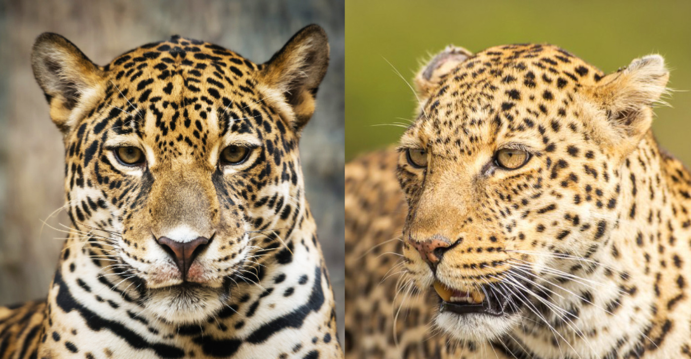 jaguar_v_leopard_main.jpg