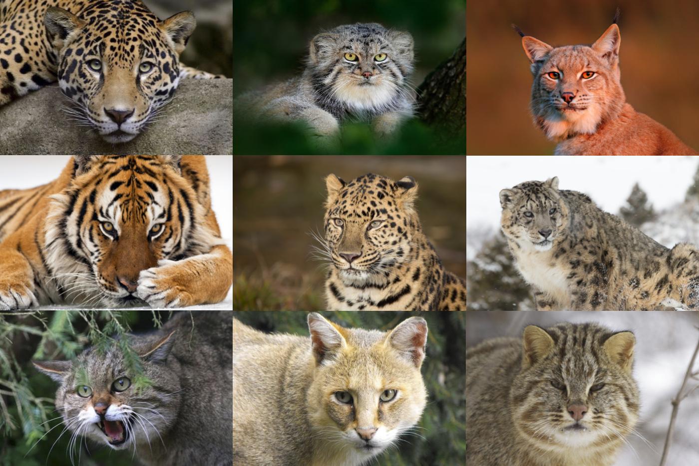 Все дикие кошки России. Сколько видов вы знаете?