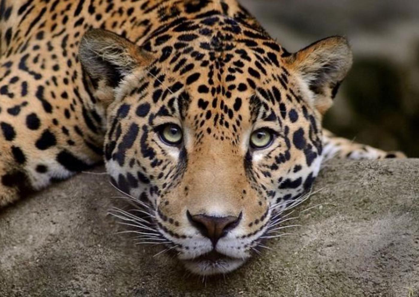 cat_peredneasiatskiy_leopard.jpg