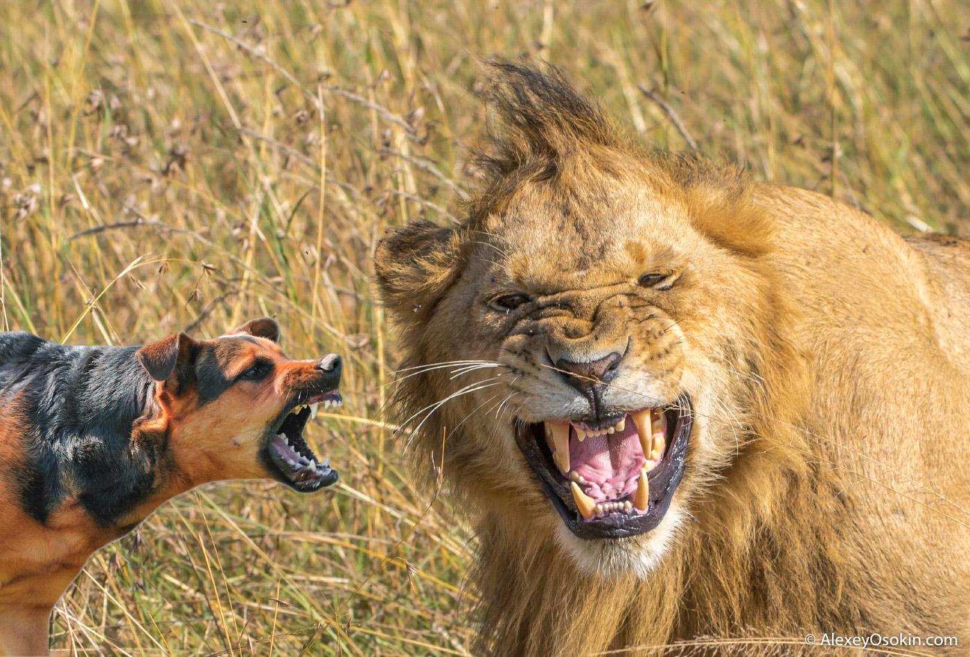 Собака или лев. Кто победит?