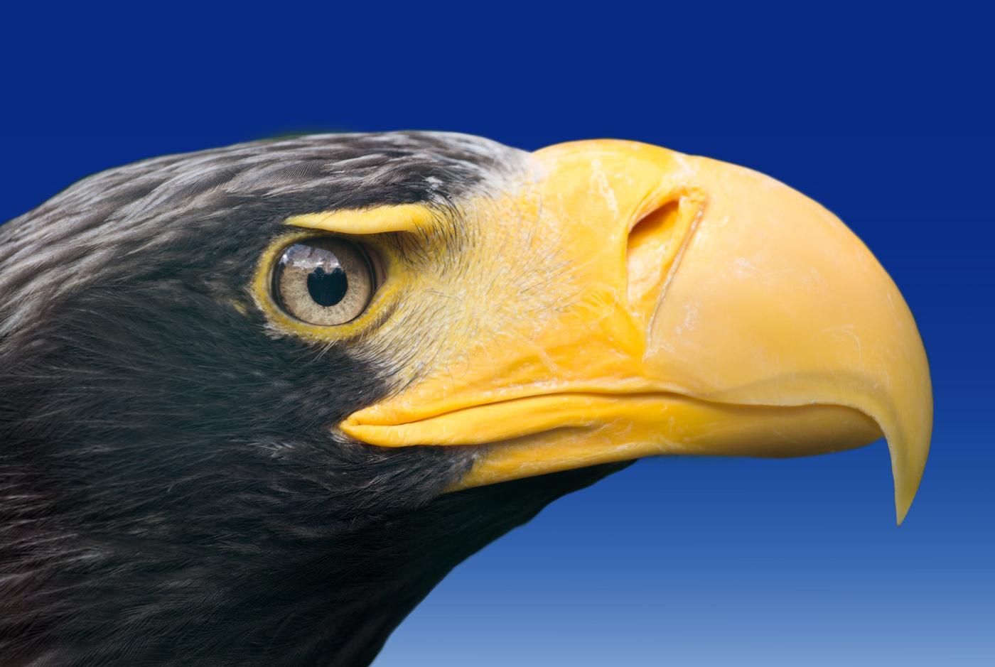 Уникальная природа России. Белоплечий орлан.