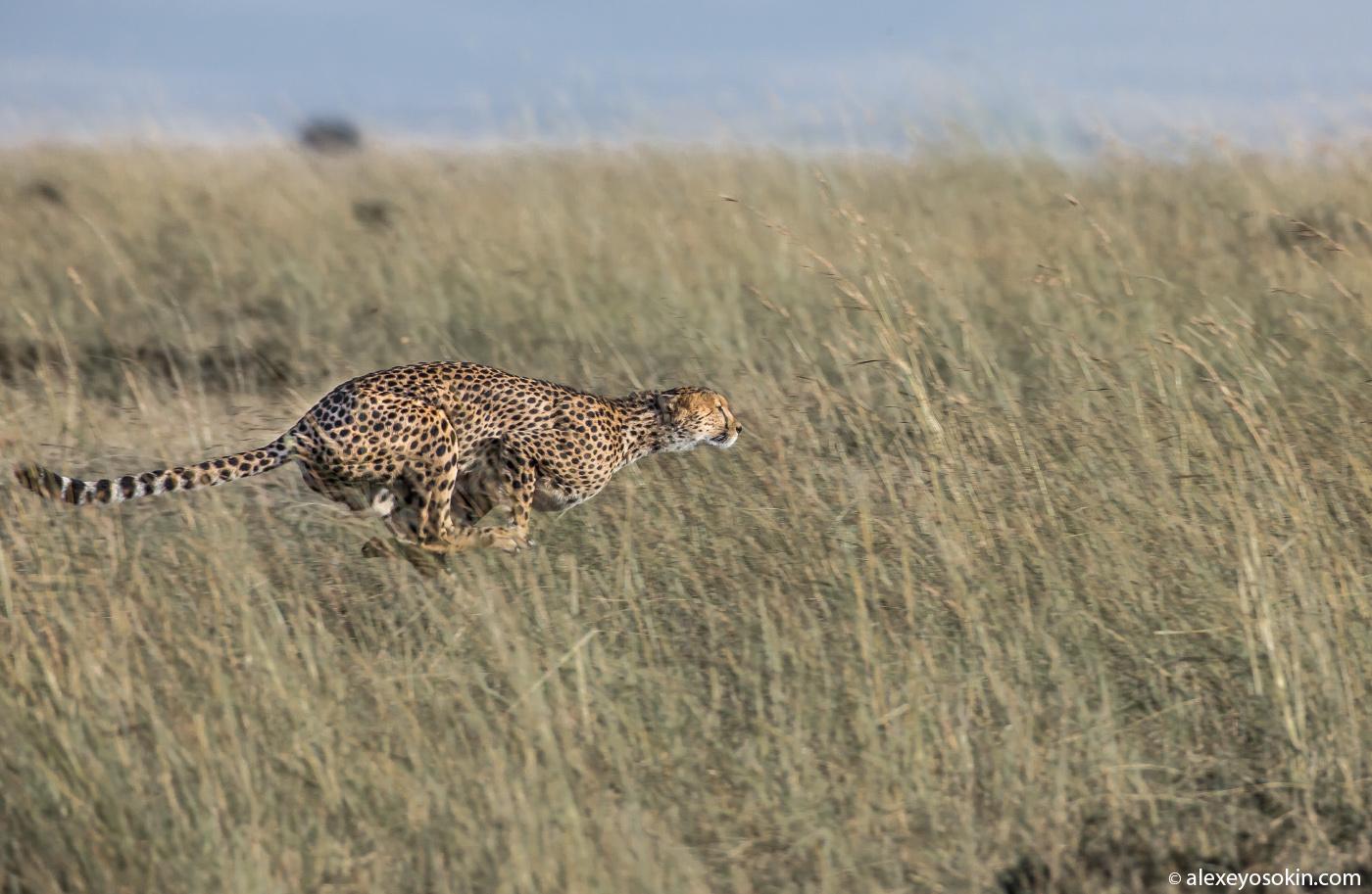 ТОП-10 самых быстрых сухопутных животных