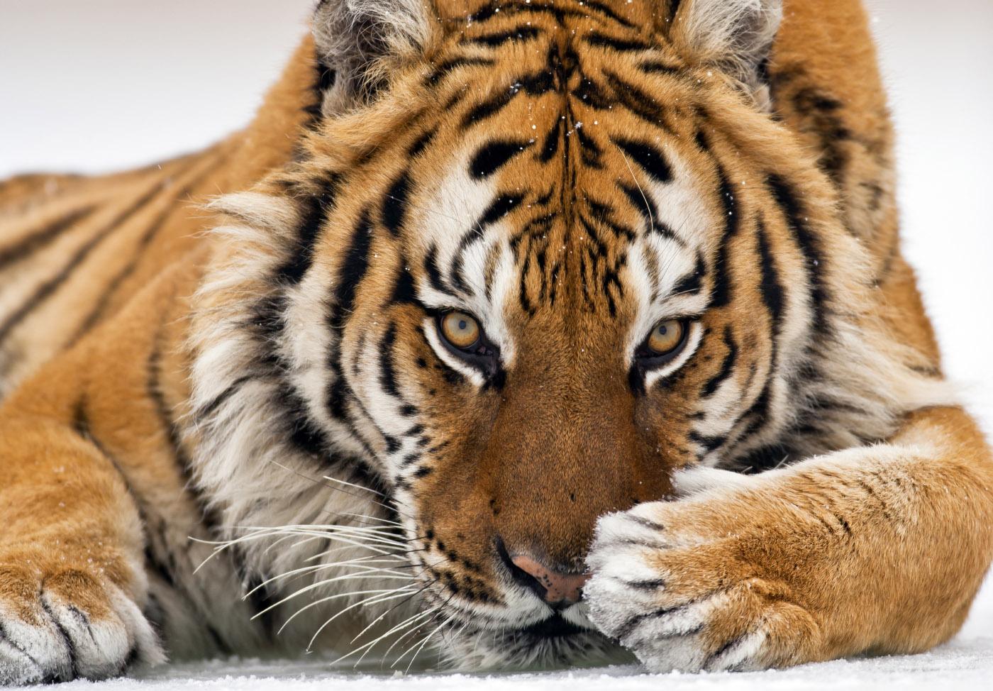 Тигр - символ России? Все подвиды самой красивой кошки