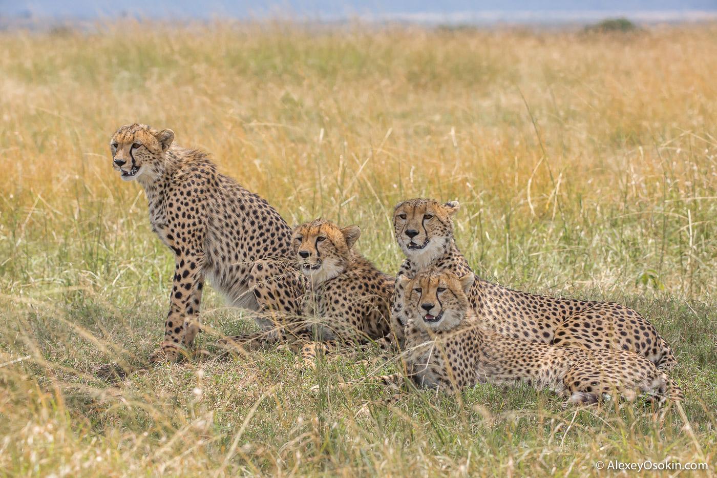 Cheetahs_kenya, mar.2016_ao-7.jpg