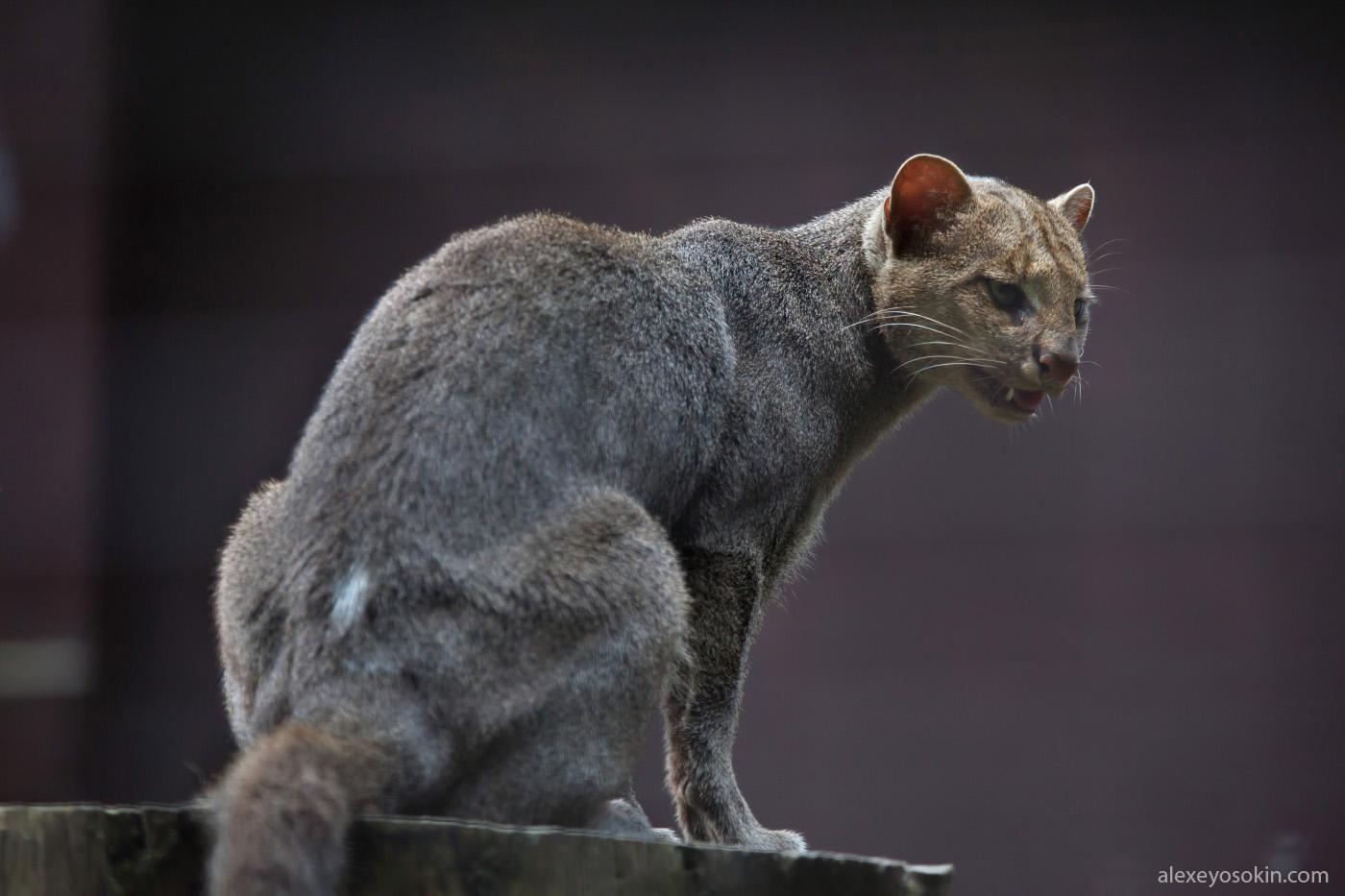 Необычная кошка Ягуарунди