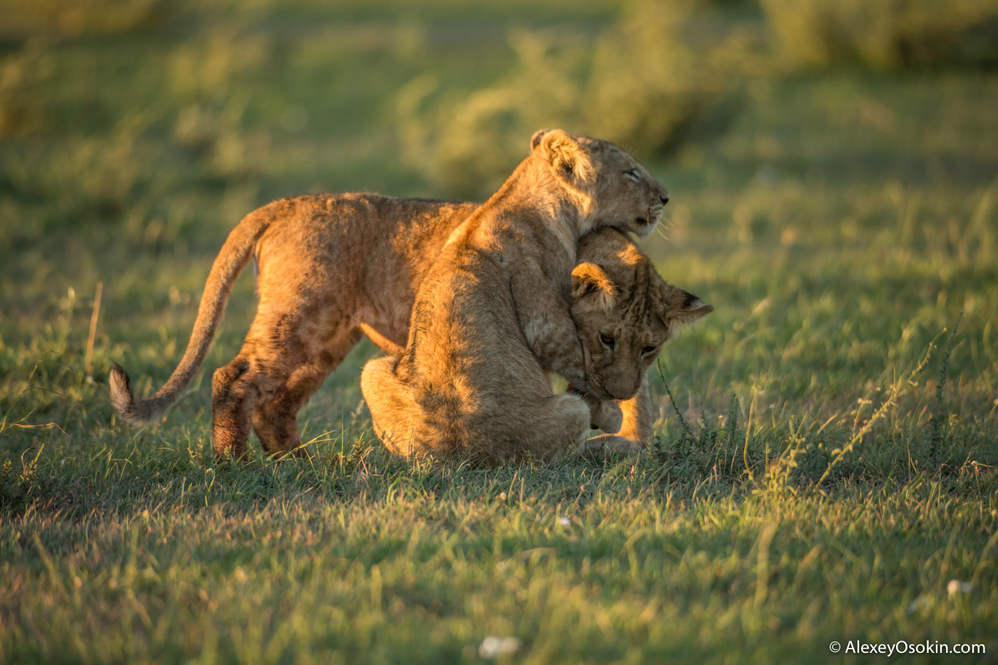 Two_Lion_cubs_from_Sandriver_pride, feb.2017.jpg