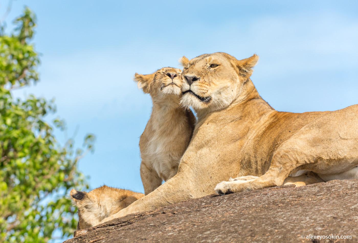 lions, aug.2015-ao--4.jpg