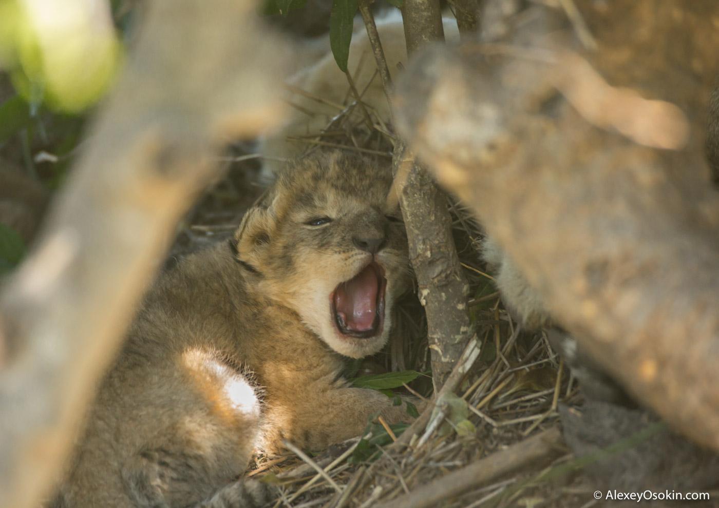 Воскресный мимиметр - львята и львы Масаи-Мара