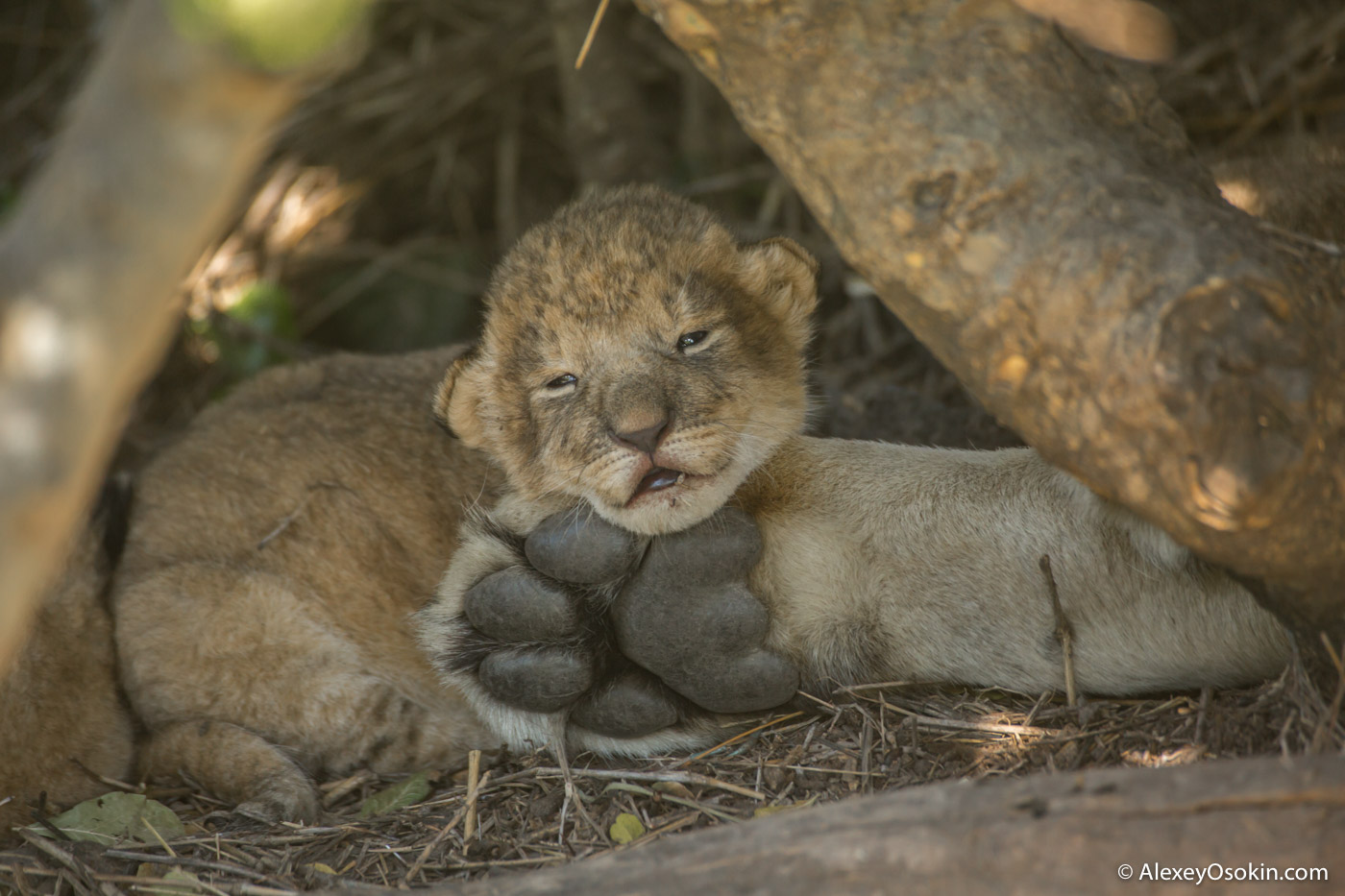 2 weeks lion cub, feb.2017--7.jpg