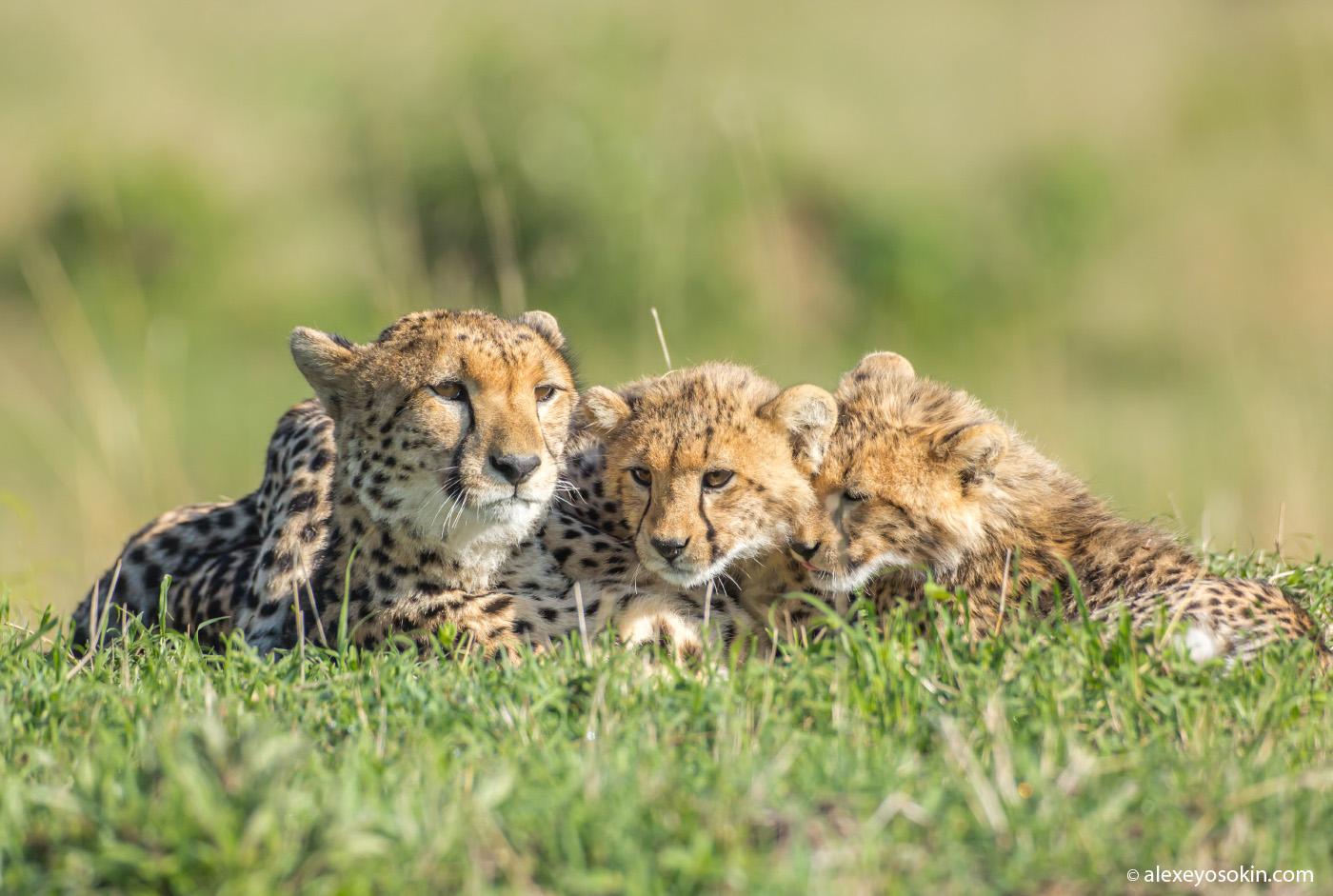 cheetahs-10-2015-ao.jpg