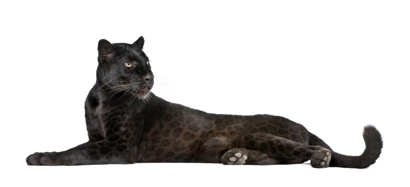 Почему и для чего пантера черная?