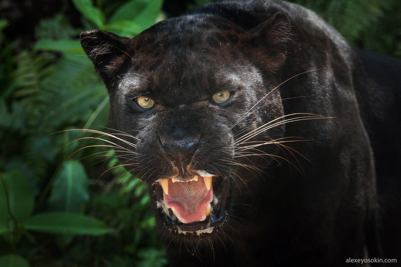 black_panther_3.jpg