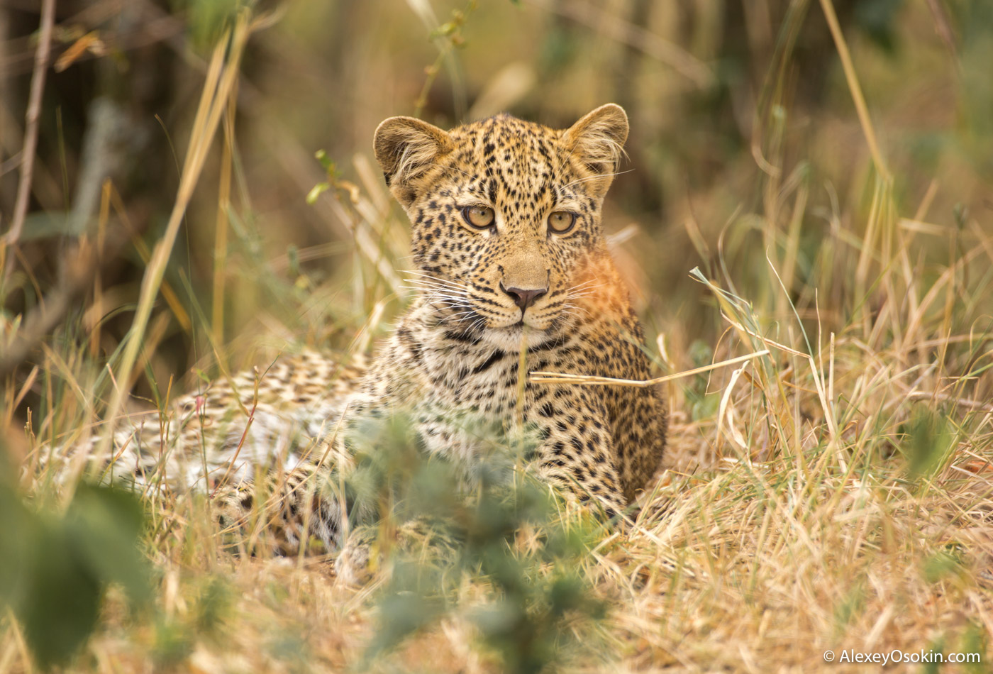 Young Leopard, jul.2017--18.jpg