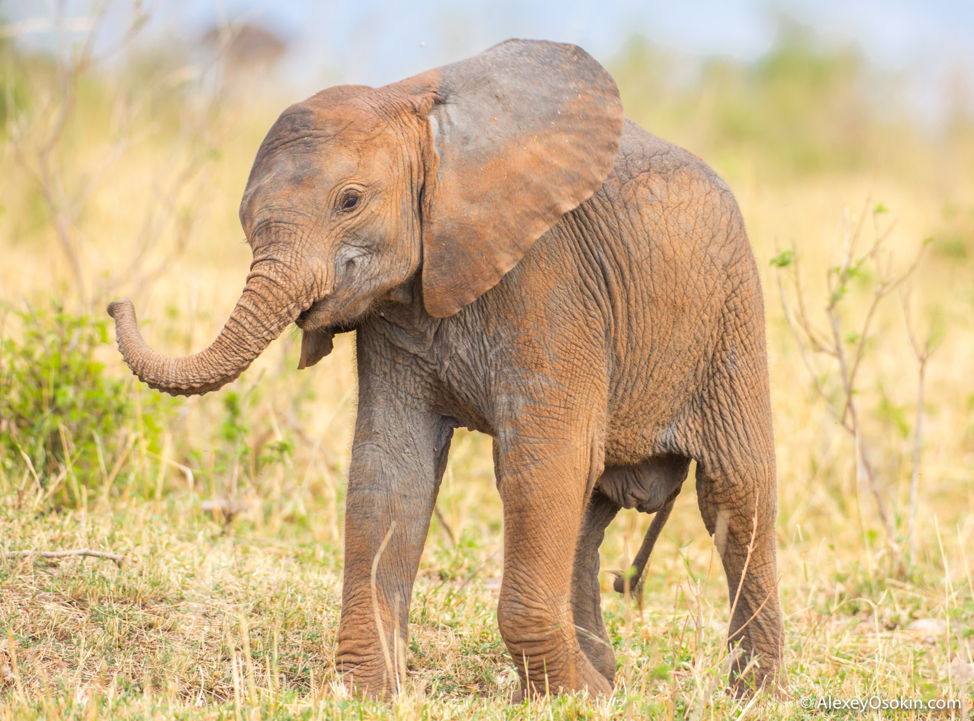 Воскресной милоты вам в ленту - юный слоник