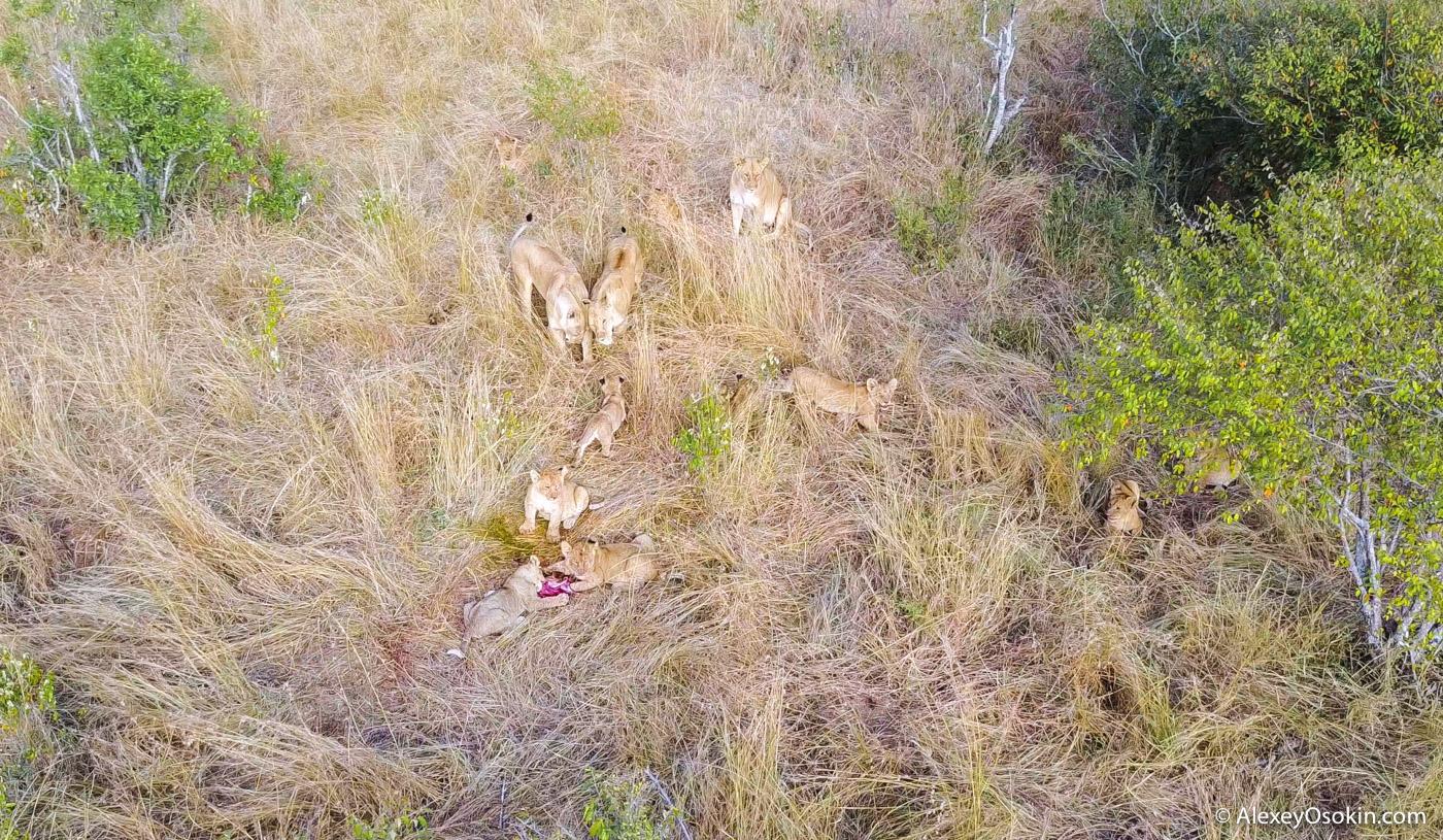 Сколько львов и львят на фото?