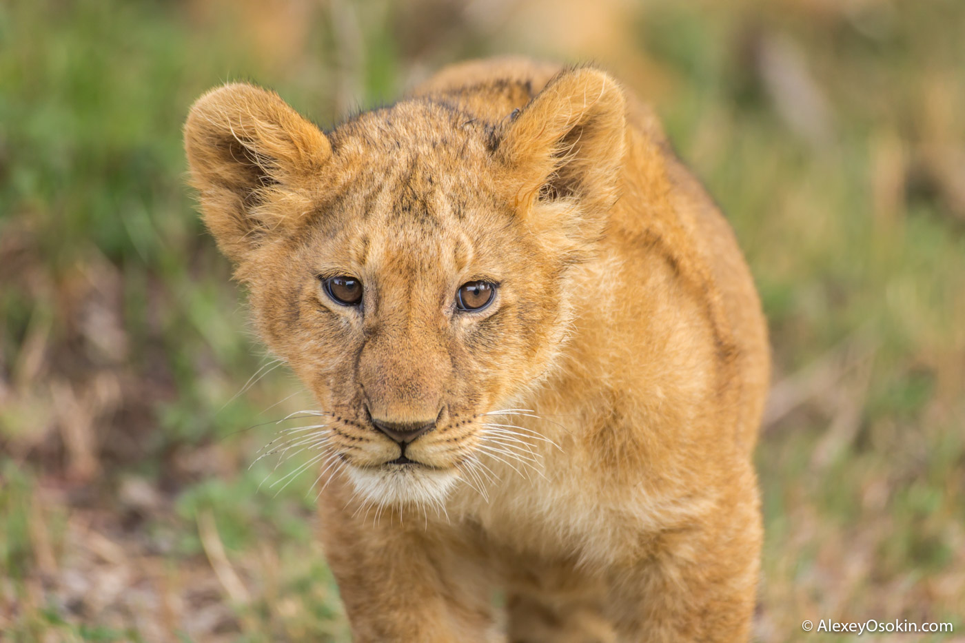 lion cub portrait, jul.2017-ao--2.jpg