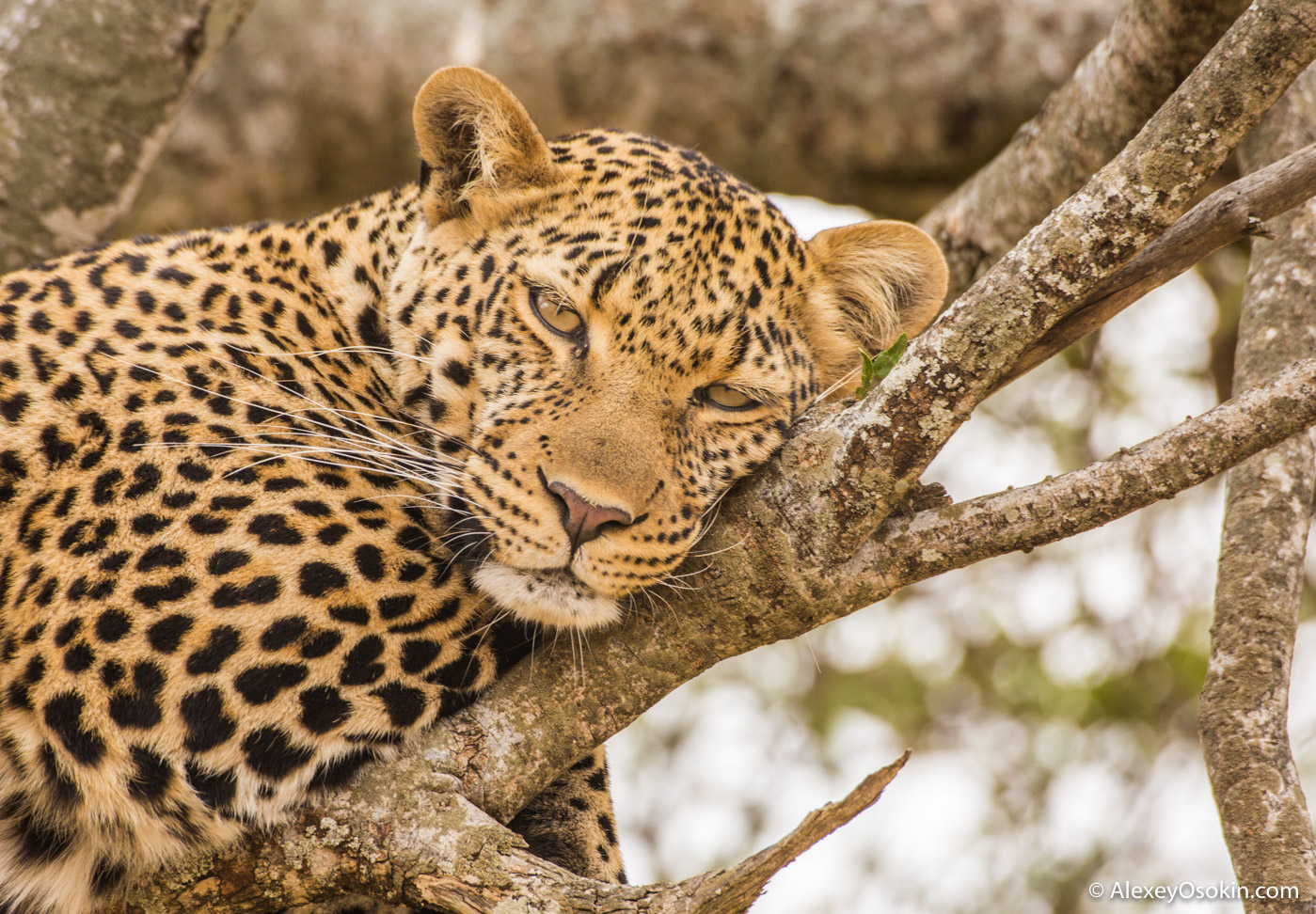 Leopard Poly, jul.2017-mo-ao-.jpg