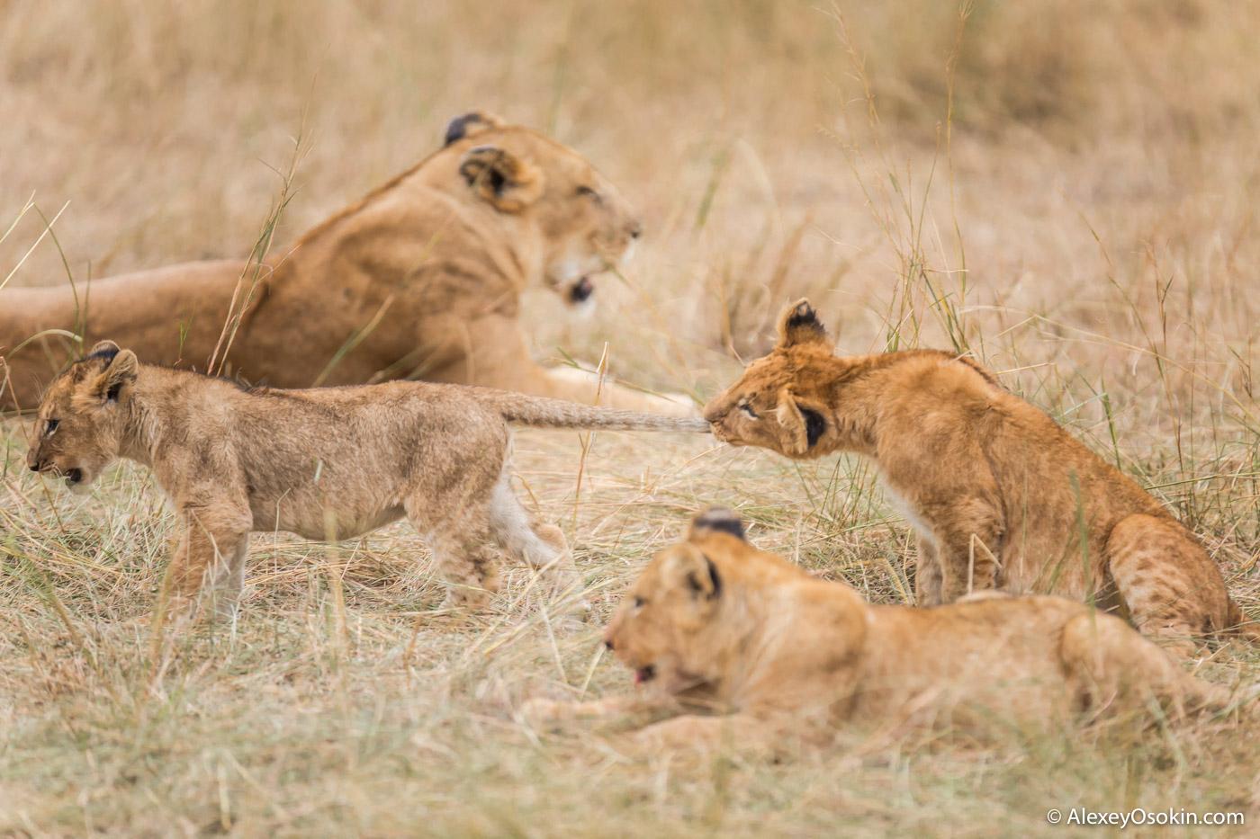 10 lion cubs evening, jul.2017-ao--10.jpg
