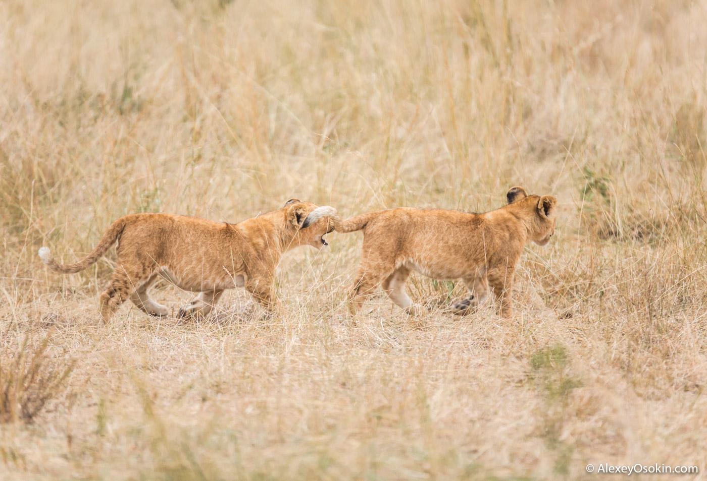 10 lion cubs evening, jul.2017-ao--12.jpg