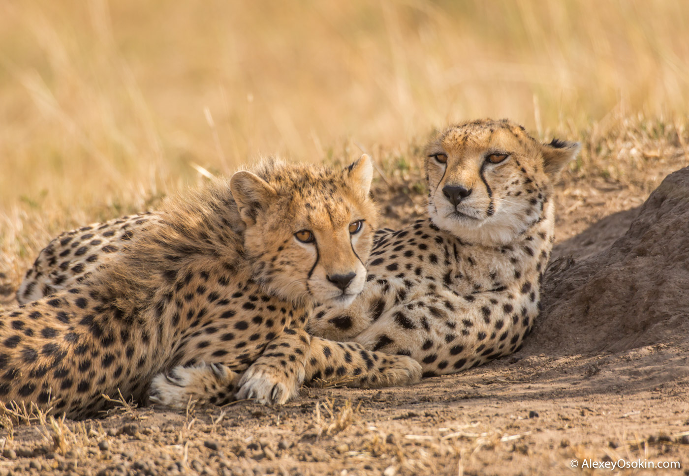 Miale cheetah, jul.2017-ao--4.jpg