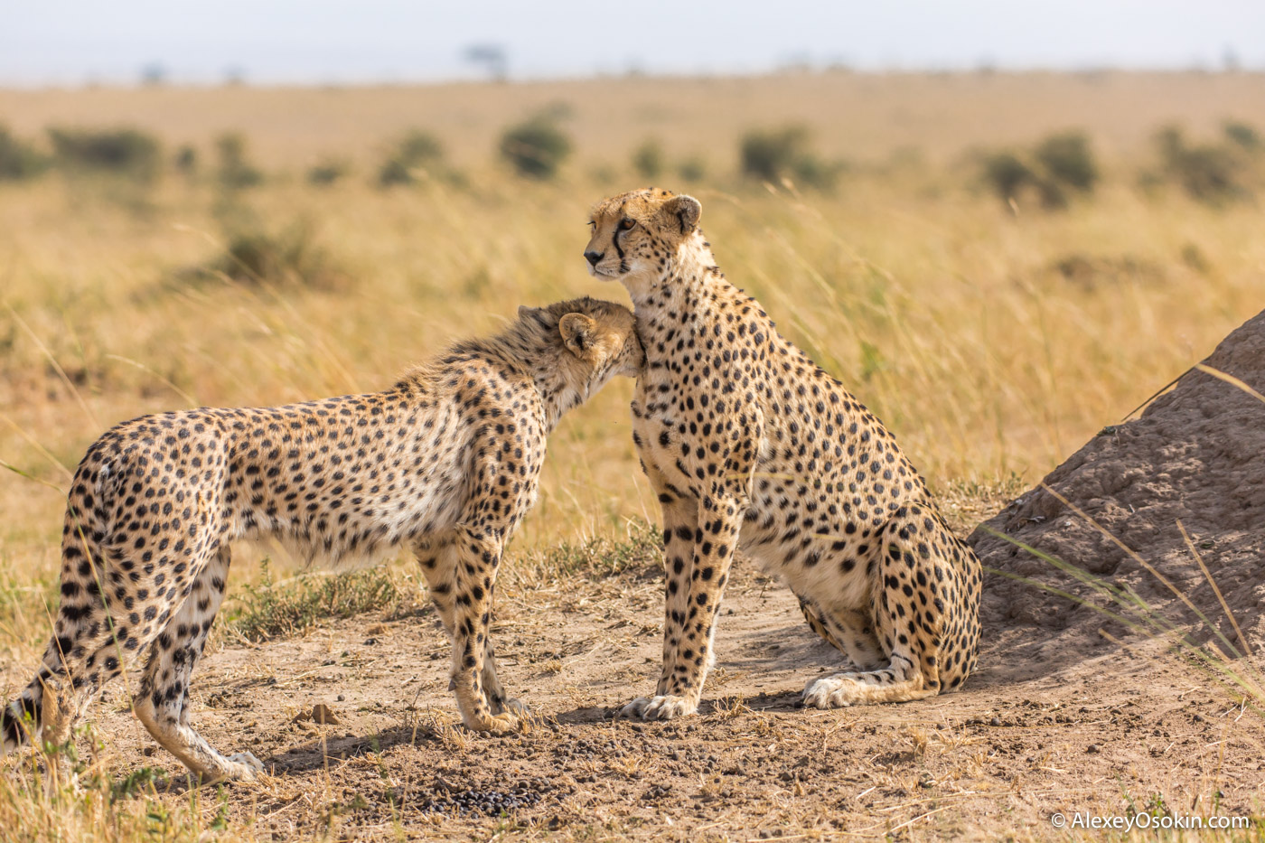 Miale cheetah, jul.2017-ao--12.jpg