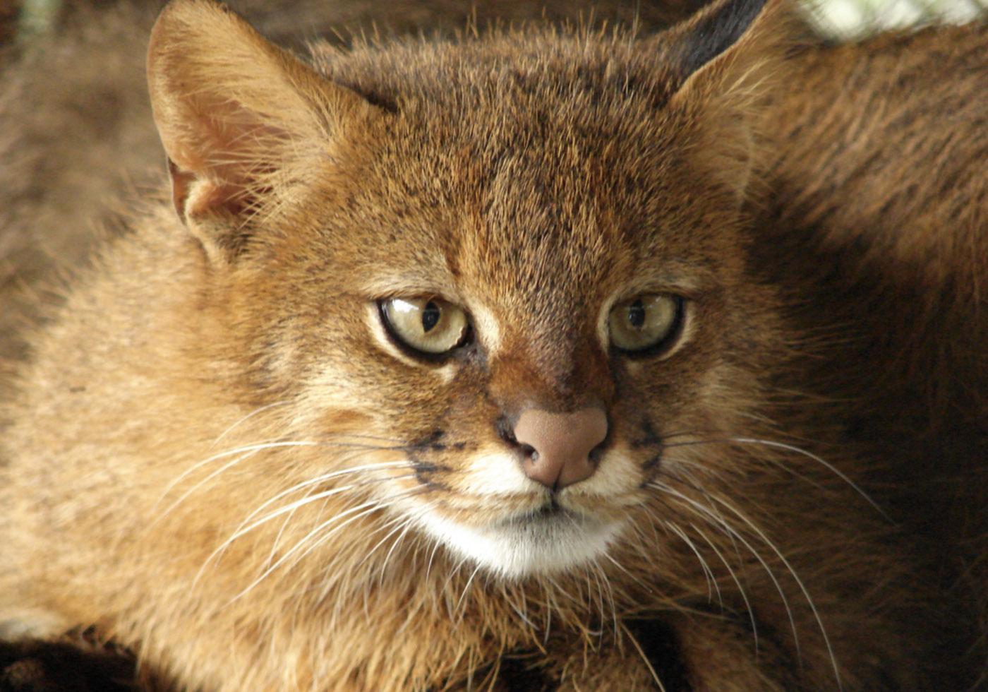 leopardus pajeros_2.jpg