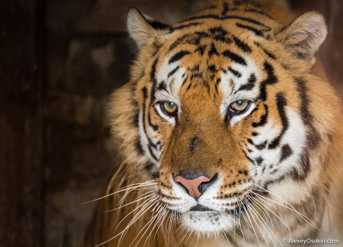 Летят, картинки день тигра