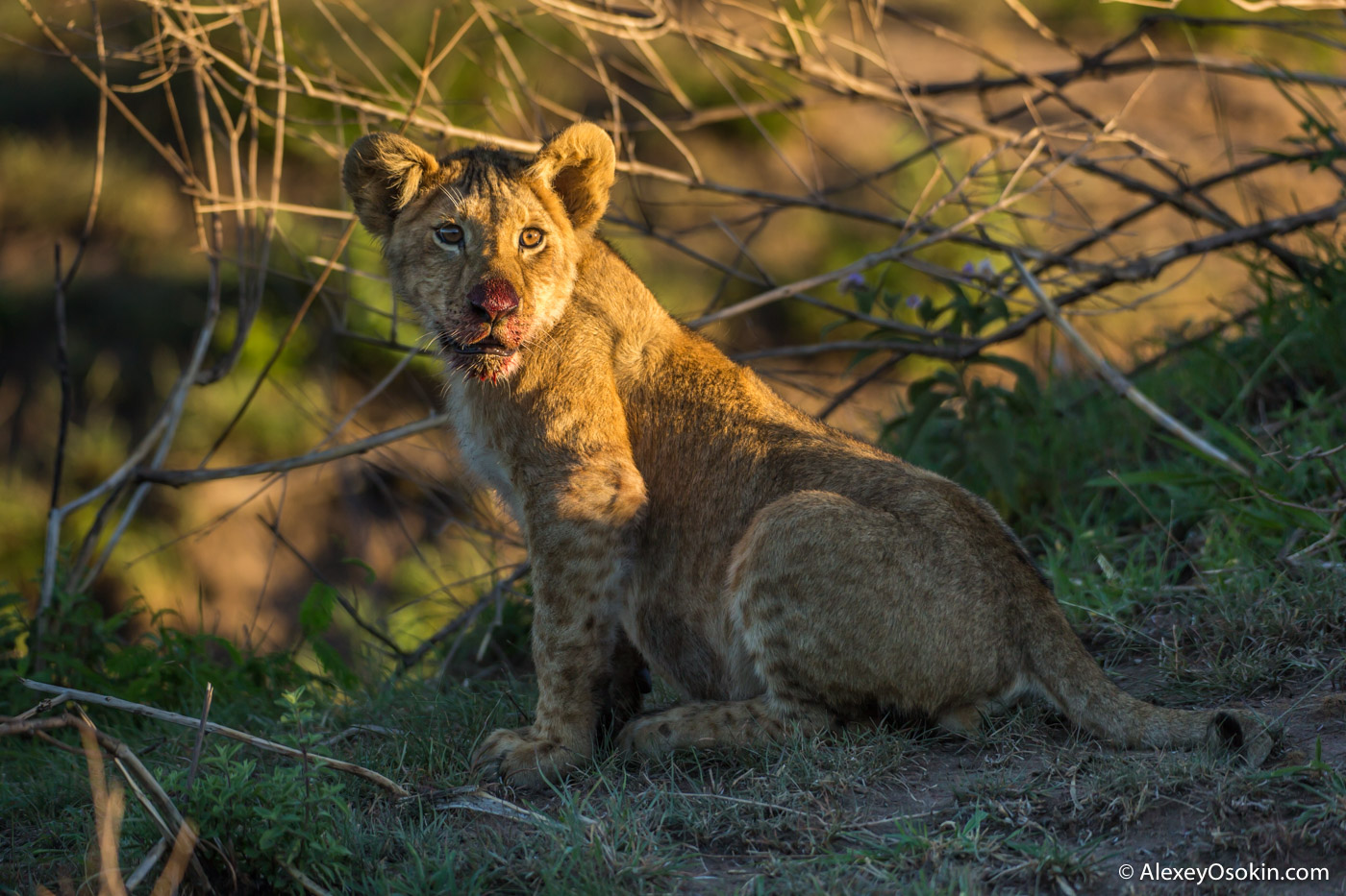 Lioness and cubs from Sand River in the morning, feb.2017-ao--2.jpg