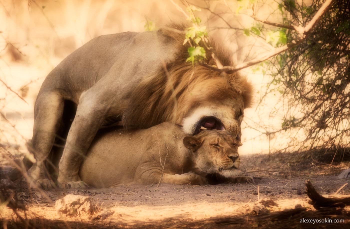 Какого размера у льва?
