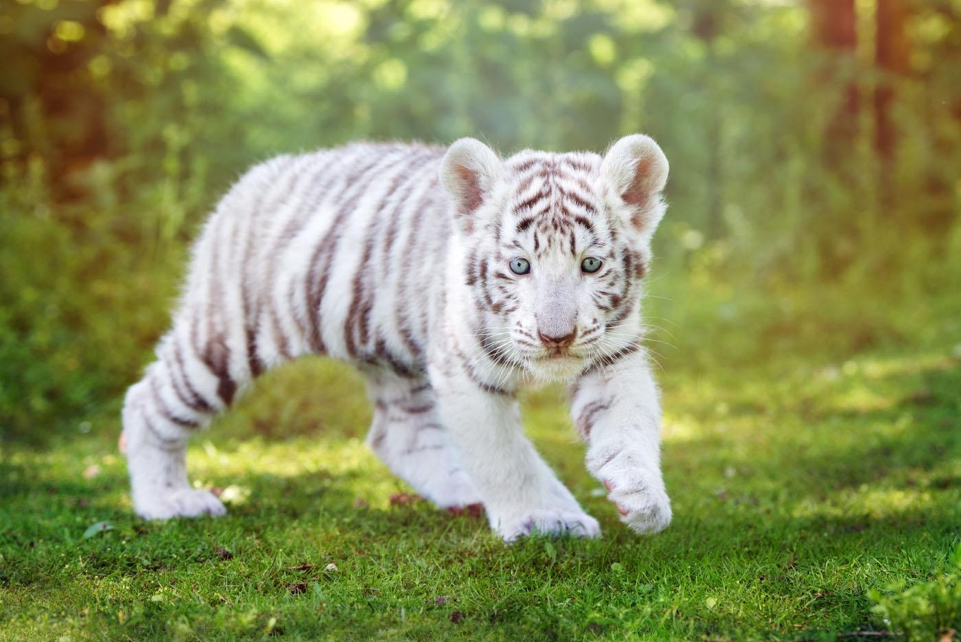 white_tiger_1.jpg