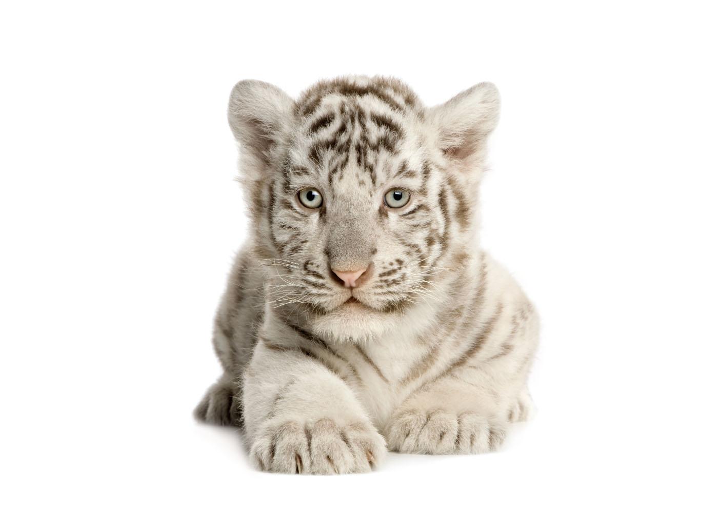 Невероятно красивый блондин с зелеными глазами. Неужели индус? тигра, белого, белые, тигры, природе, дикой, белый, тигров, белых, дворце, рыжих, только, неволе, несколько, тигром, бенгальского, может, тигренок, своих, тигрят