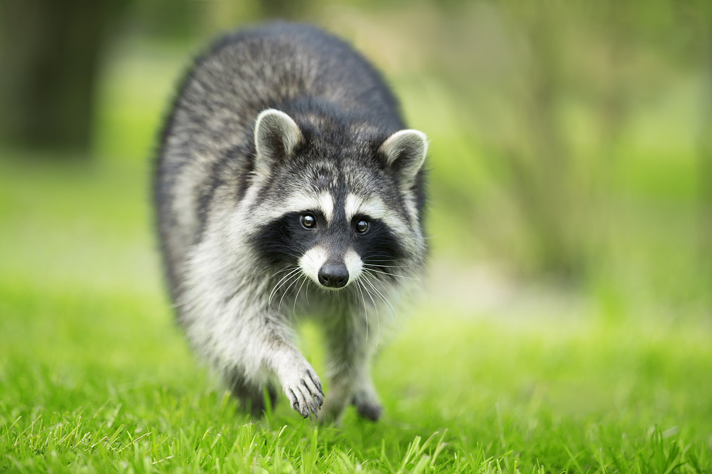The beast who defeated a man more, a raccoon, led, sense, a lot, man, man, beast, animals, regions, excellent, settled down, delivers, often, troubles, to local residents, Well done, By the way, prefix