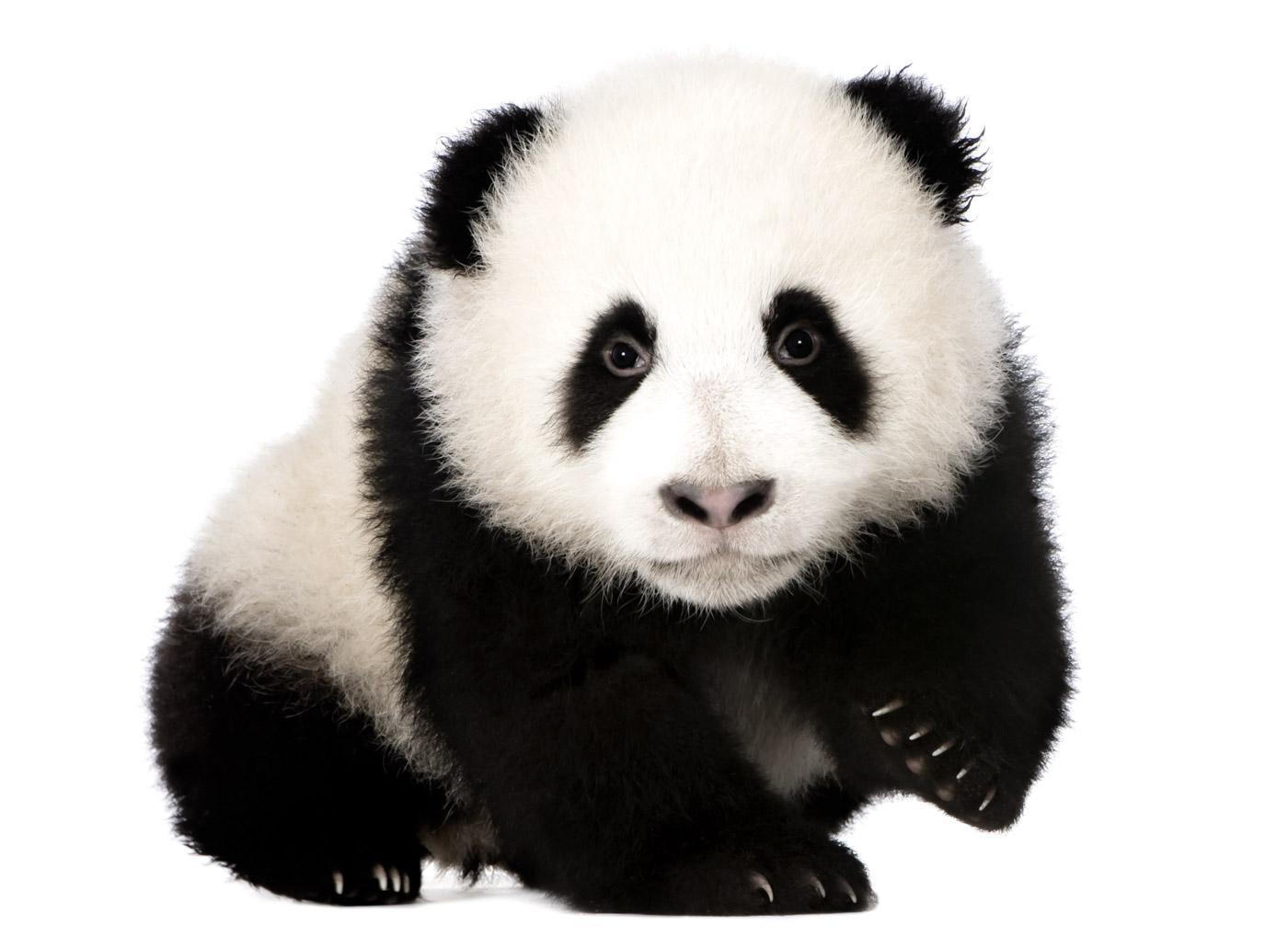 Портреты животных. Большая панда.