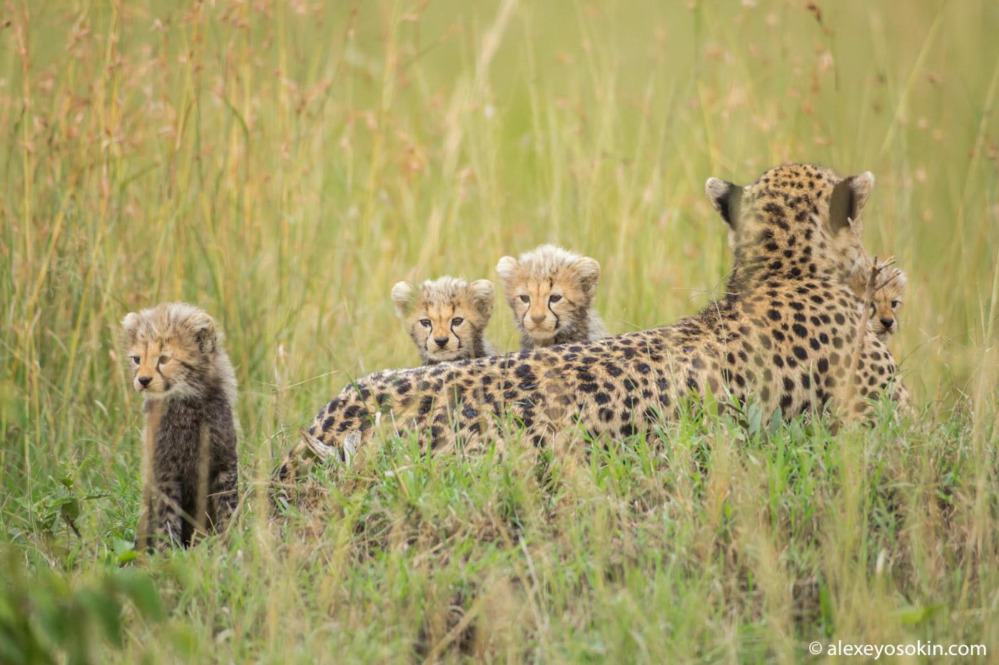 Чудесная семья гепардов. Имани и ее малыши.