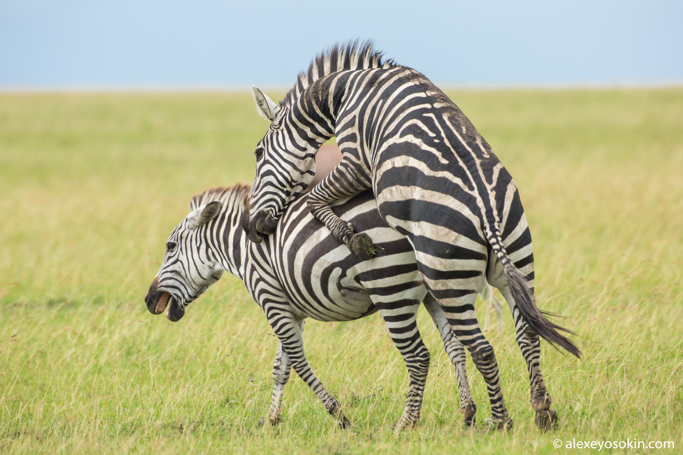 Meting zebras, mar.2018-ao--3.jpg