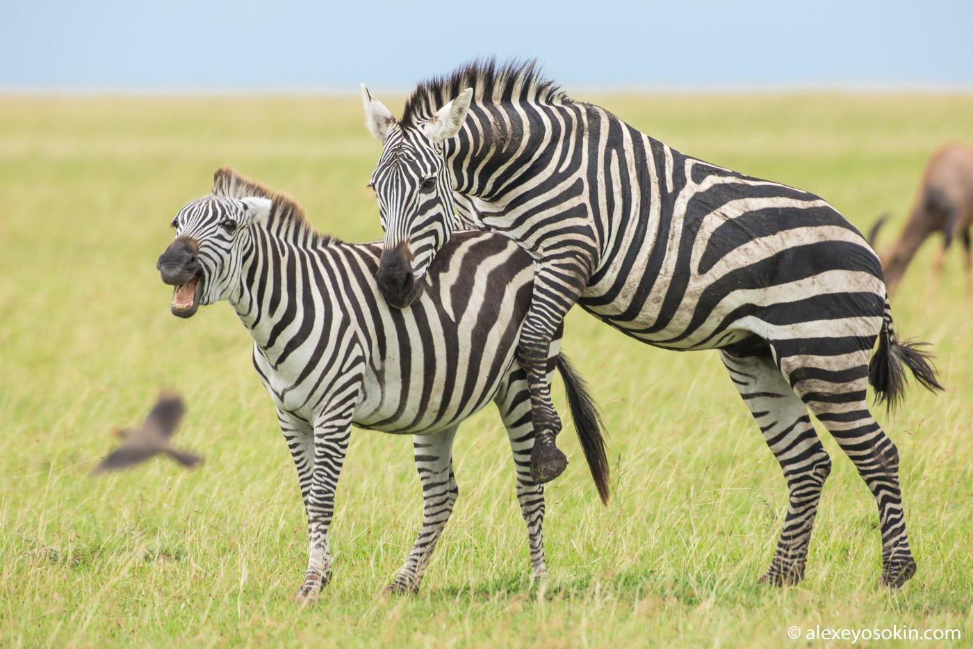 Полосатый ли член зебры