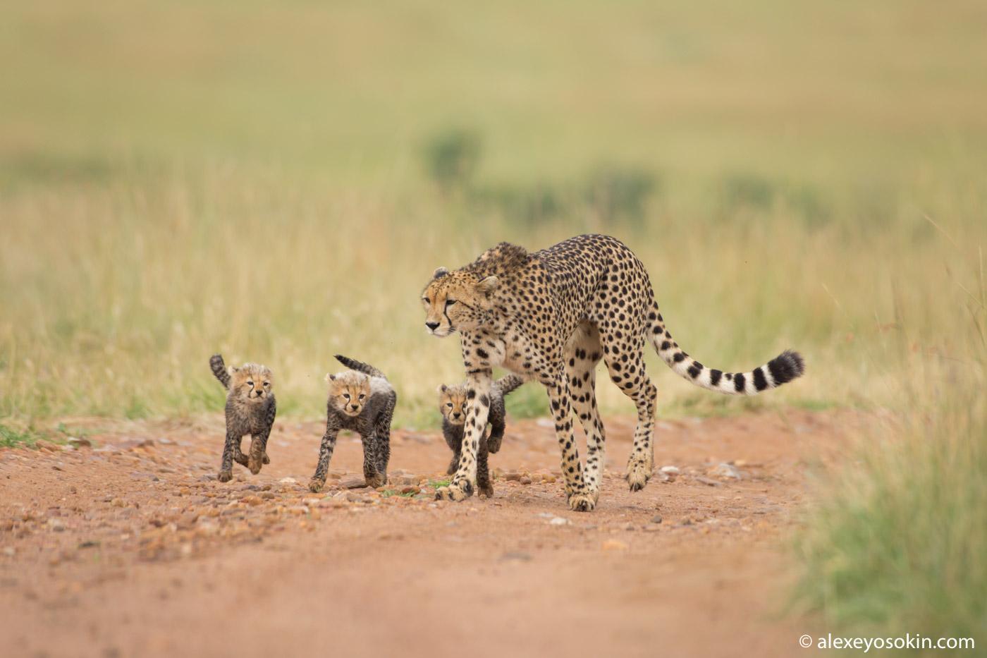 Про гепардов для тех, кто успел соскучиться по чудесным котятам Имани