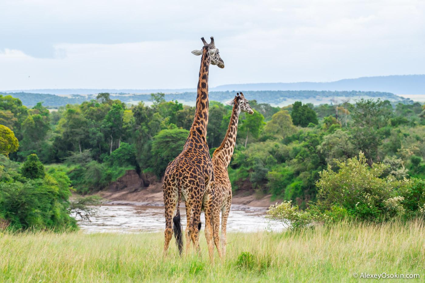 Как ЭТО делают жирафы. Только для людей со здоровой головой!
