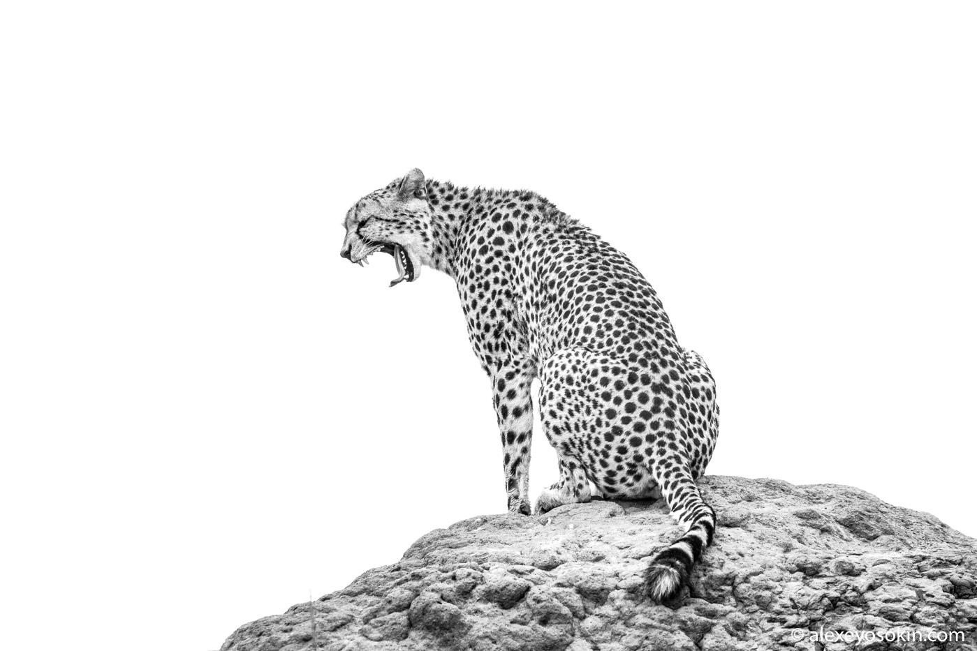 Новости о гепардах и черно-белые хроники