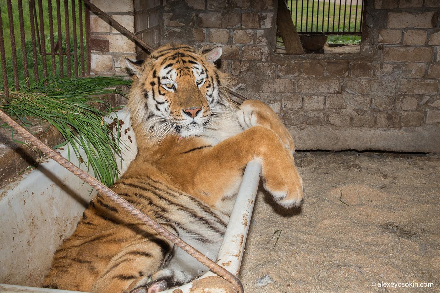 Хорошие новости о тигре Диме