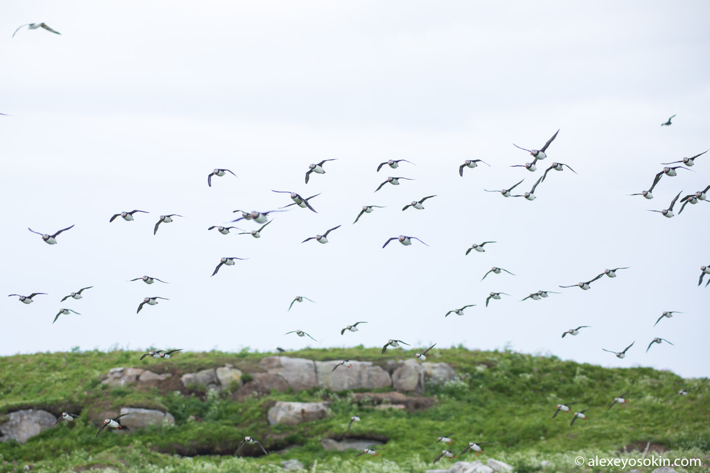Polar parrots of the Aynov Islands. Expedition to the extreme north of Russia. islands, very, dead ends, only, island, nature reserve, dead ends, iceland, several, all, kandalaksha, islands, coast, norway, to, expedition, this, Russia, island, many