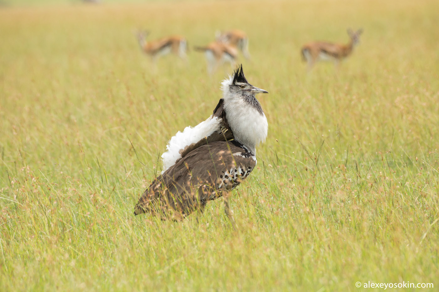 Самая большая птица Африки